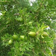 Un'esplosione di argan (Argania espinosa seed oil)