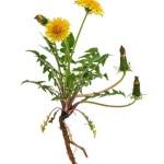 Pianta di tarassaco - da http://www.cure-naturali.it/